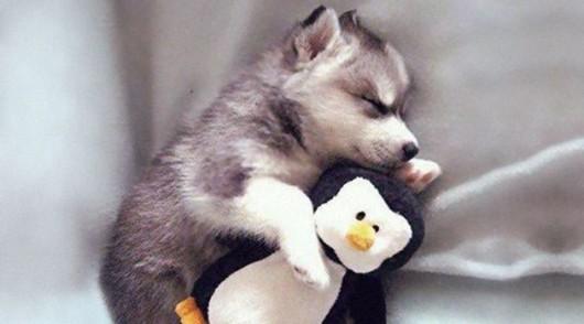 cute-husky